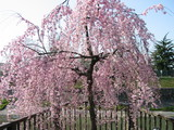 山崎川しだれ桜1