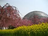 東谷山菜の花と桜