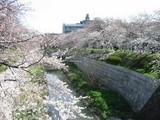 鼎橋からの桜