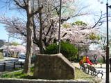 弥冨公園桜1