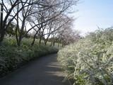 緑化センター桜と雪柳1