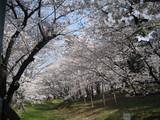 古墳を囲む桜1