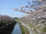 左右田橋からの桜