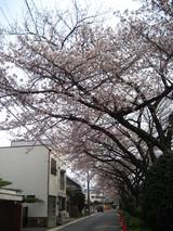 水道みち緑道の桜4
