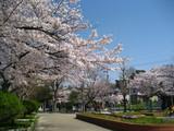 弥冨公園桜2