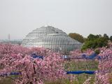 東谷山桜遠景