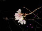 桜山交差点の冬桜