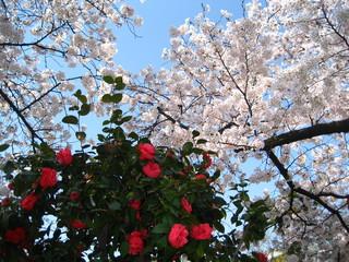 弥冨公園桜と椿の花