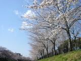 山崎川下からの桜1