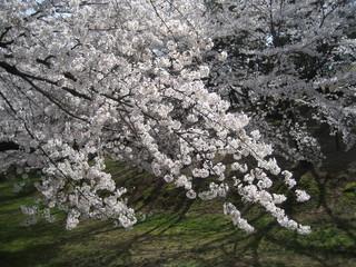 古墳の桜横幅大