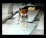 子犬、子犬、子犬、犬フィラリア、犬フィラリア、犬フィラリア