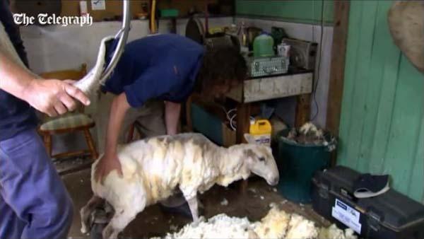 すっきりした羊