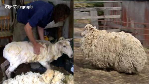羊のビフォアアフター