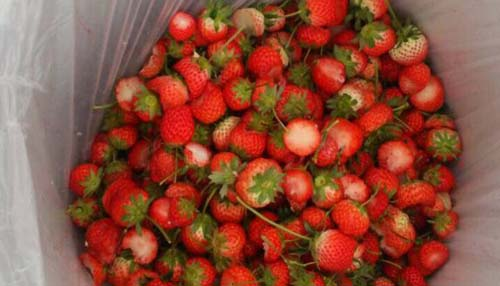 いちご狩りで残されたイチゴ