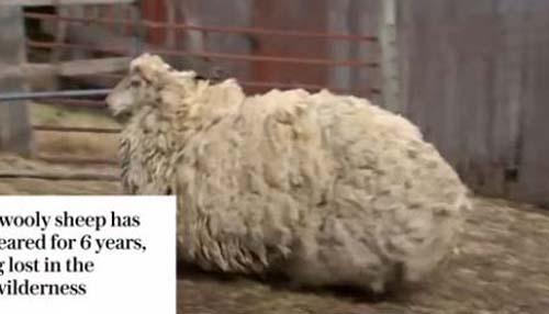 逃亡の果てに動けなくなった羊