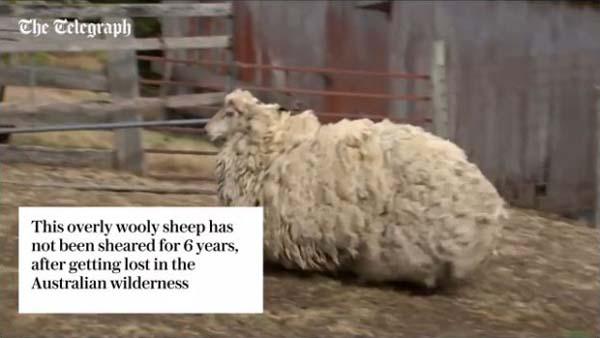 モコモコした羊