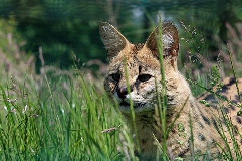 serval-220493_640