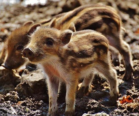 wild-pigs-1332243_640