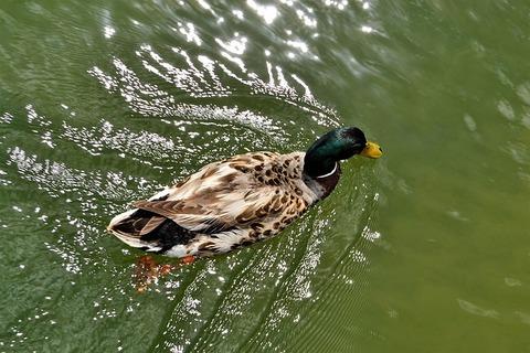 duck-in-water-2825218_640