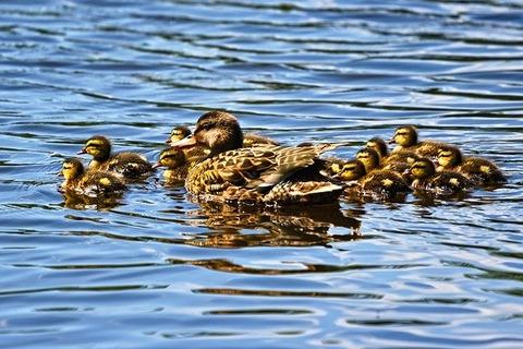 duckling-3456779_640
