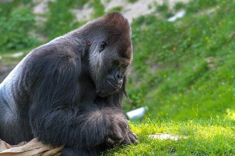 gorilla-3373856_640