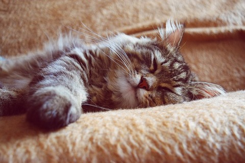 sleeping-cat-2754329_640