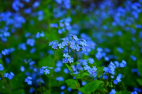 forget-me-not-1365857_640
