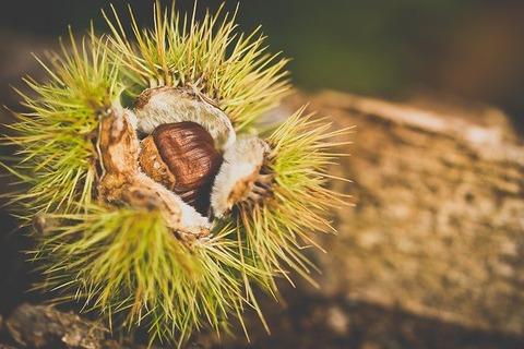 chestnut-2810489_640
