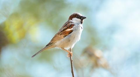 home-sparrow-2728204_640