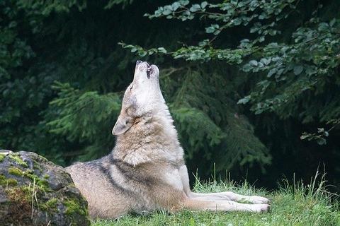 wolf-1514769_640