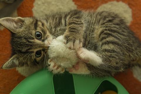 kitten-5259333_640