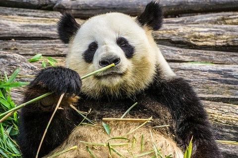 panda-3555554_640