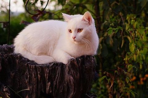 white-cat-4424507_640