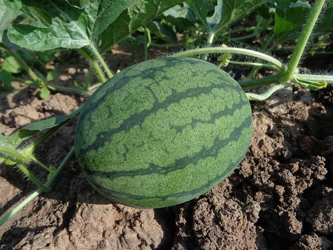 watermelon-551235_640
