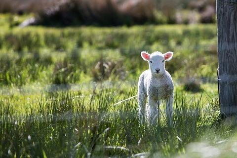 lamb-1081950_640