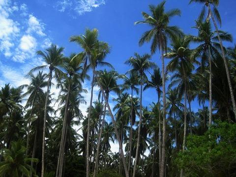 coconut-trees-1644921_640