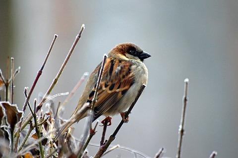 sparrow-50346_640