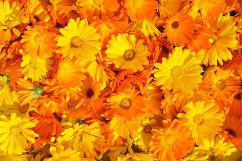 marigold-237828_640 (1)