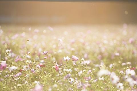 cosmos-flowers-1138041_640
