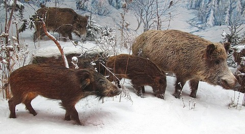 wild-boars-3080948_640