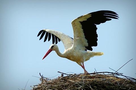 stork-839597_640