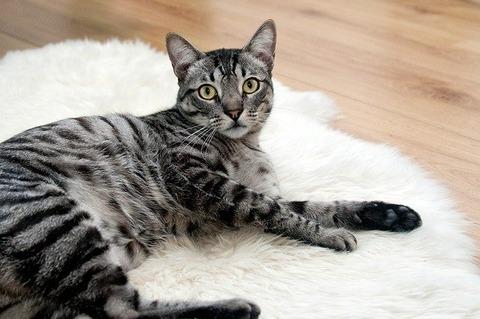 cat-468232_640
