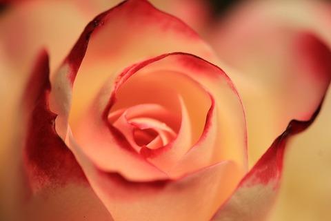rose-2980163_640