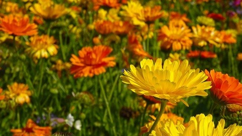 marigolds-g89c48ea45_640