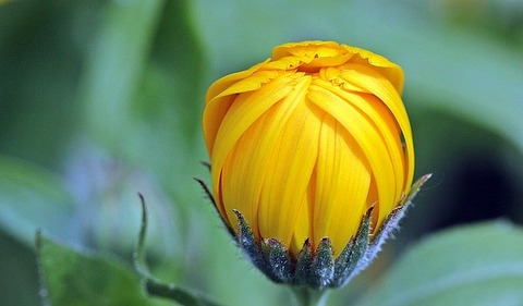 marigold-1503876_640