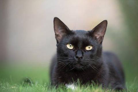 black-cat-3739702_640