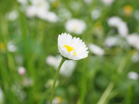 daisy-1260742_640