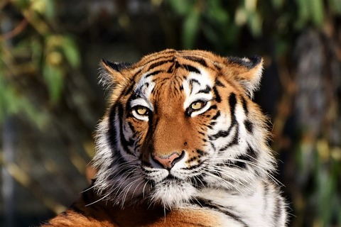 tiger-3424791_640