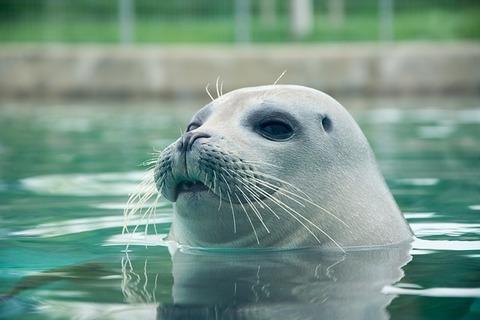seal-3585727_640