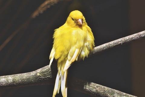 canary-4362061_640